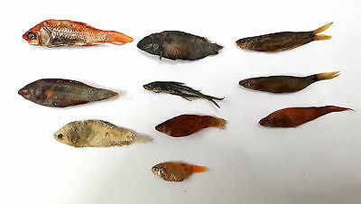 10 Real Fish Taxidermy Fish Mount Home Decor Art Skull Skeleton Real Dead Fish