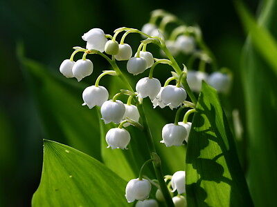 NEW EVTERPA Perfume LILY OF THE VALLEY Eau de Perfume Enchanting Flower Scent