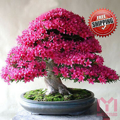 10 x Japanese Red Cherry Blossom seeds Sakura Tree Exotic rare Viable Seeds