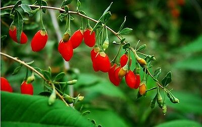 1000 Graines de Goji  Lycium barbarum Goji-Berry  Chinese Wolfberry seeds