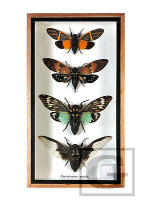 4 Cicada Real Butterfly Insect Bug Taxidermy Display in Framed Box Gift FS gpasy