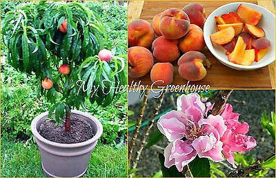 "SEEDS – Succulent Super Dwarf Peach ""Honey Babe"" Trees for Small Spaces!"