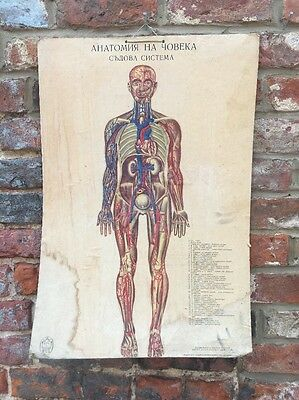 Vintage Human skeletal Muscular School Medical Science Poster Anatomy Teaching C