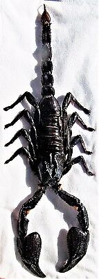 Real Exotic Javan Black Scorpion Heterometrus cyaneus FAST FROM USA