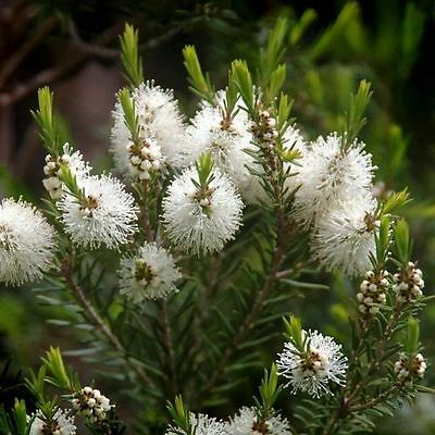 Huile Essentielle TEA TREE 10ml Arbre a The melaleuca alternifolia