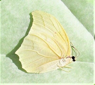 Beautiful White Angled-sulphur Butterfly Anteos clorinde Folded FAST FROM USA