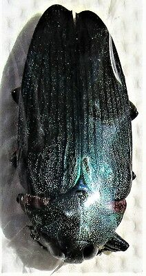 Extremely Rare Metallic Blue Jewel Beetle Colobogaster resplendens FAST FROM USA