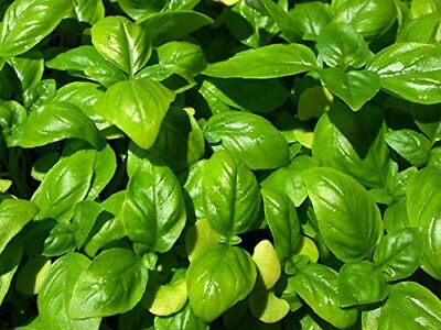 Italian Heirloom Genovese Basil Seeds by Stonysoil Seed Comapny