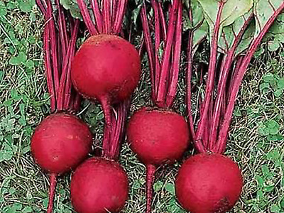 "Beetroot Seeds ""Bulls Blood"" (Approx 100 Seeds),Popular Garden Vegetable"