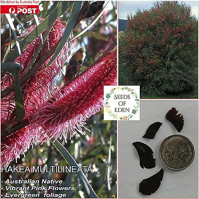15 HAKEA MULTILINEATA SEEDS; Beautiful Australian Native