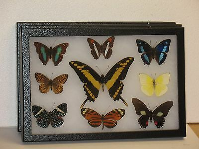 Real framed Butterfly collection #11