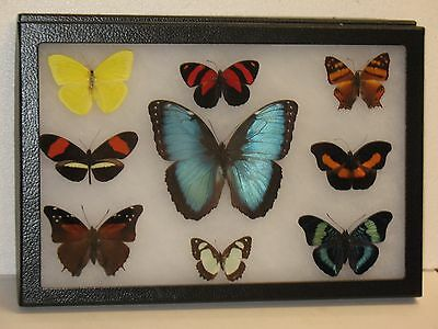 Real framed Butterfly collection #9