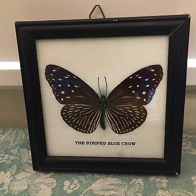 Real Striped Blue Crow Butterfly Mounted Framed India Southeast Asia