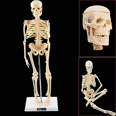 Medical Test Learning Resources Human Skeleton Educational Anatomy Toy Body Part