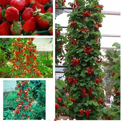 Garden Fruit Heirloom Plant Seeds Cute Red Climbing Strawberry Seeds Rare Plant