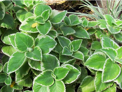 Live Plant, Cuban Oregano, (1 plant) Indian Borage, Mexican Mint, Spanish Thyme