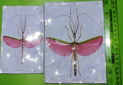 Huge Pink Flying Stick Necroscia annulipes Pair Spread FAST SHIP FROM USA