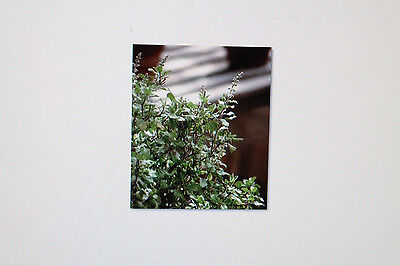 10 seeds Tusli, Indian Basil, Ocimum Sanctum #247