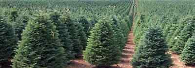 250 x Noble Fir Christmas tree seeds.