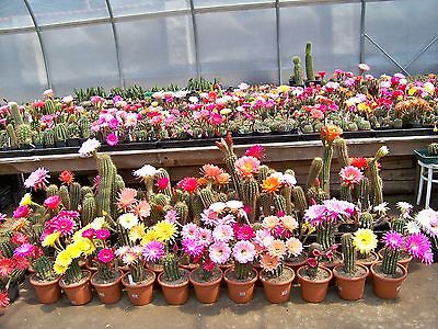 Echinopsis hybrid seed seeds MIX fresh seeds