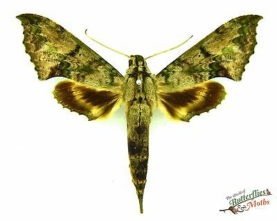 Real moth Xylophanes zurcheri SET x1 hawk sphinx moth Scarce species Entomology