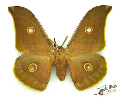 Oak silk-moth HYBRID Antheraea pernyi X harti SET x1 M scarce dark form