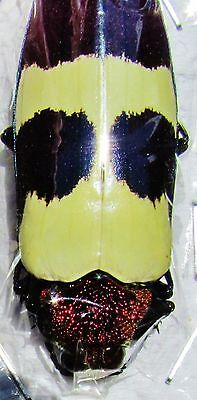 Beautiful Jewel Beetle Chrysochroa buqueti rugicollis FAST SHIPPING FROM USA