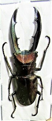 Staghorn Beetle Cyclommatus metallifer finae 35-49mm Male FAST SHIP FROM USA
