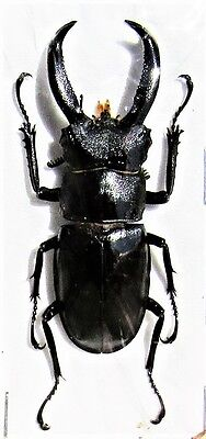 Javan Stag Beetle Hexarthrius buqueti 50-55 mm Male FAST FROM USA
