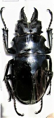 Lot of 2 Stag Beetle Odontolabis dalmanni celebensis Mesodonte 50-55mm Male FAST