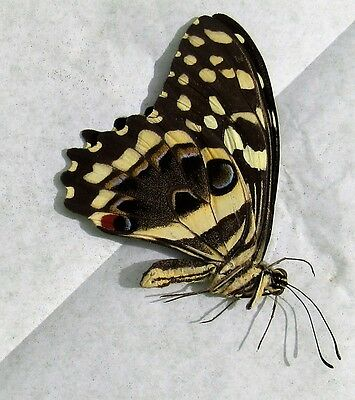 Lot of 2 Christmas Swallowtail Butterfly Papilio demodocus demodocus Folded