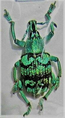 Aru Island Blue & Black Snout Beetle Eupholus chevrolati FAST FROM USA