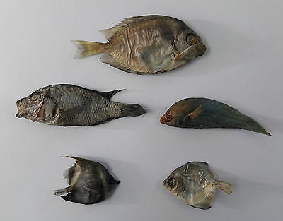 5 Real Fish Taxidermy Fish Mount Home Decor Art Skull Skeleton Real Dead Fish