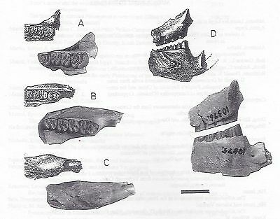 Rediscovery Fossil Beaver Type Monosaulax and other articles on in Paludicola VN