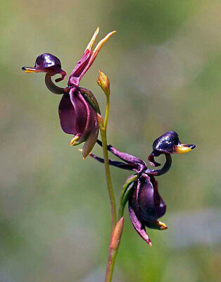 10pcs New Rare Flying Duck Orchid Flower Seeds Plant Home Beautiful Decor PT96