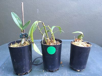 3x pack orchids