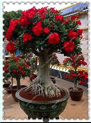 5PCS/BAG DESERT ROSE Double Seeds Potted Adenium Obesum Flowers Seeds,bonsai