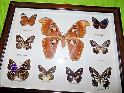 Real Mix 9 RARE Butterflies & Moth Taxidermy Insect Display Mounted framed