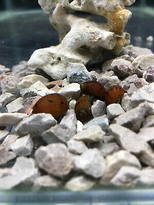 red spotted nerite snail (neritina natalensis)