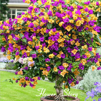 100 Mix Color Bougainvillea Balcony pot,yard bonsai Flower Plant Immensely Showy