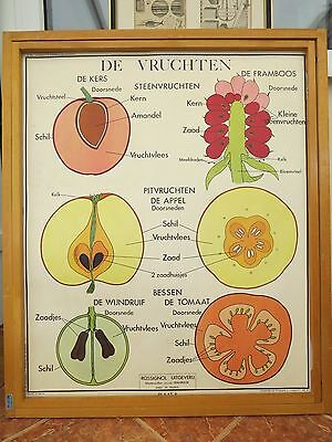 Vintage Botanical Editions Rossignol School Wall Chart Of Fruit And Leaves