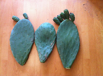3 x Prickly Pear Cactus - Opuntia Ficus Indicus - 3 x Cuttings - Ready To Plant