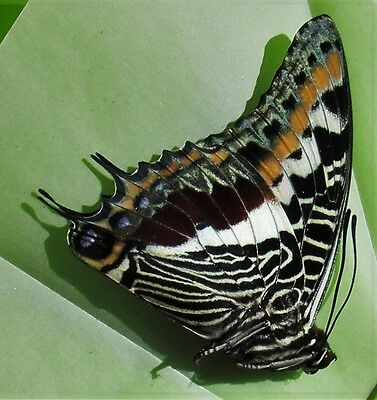 Lot of 10 Giant Emperor Butterfly Charaxes castor Male Folded FAST FROM USA