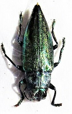 Textured Jewel Beetle Chrysodema impressicollis FAST SHIP FROM USA