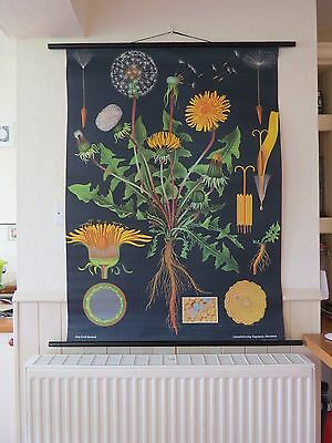 Vintage Pull Down School Wall Chart Of Dandelion Jung Koch Quentell Botanical