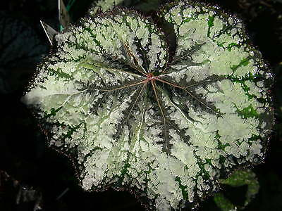 Begonia Logan Prize..outstanding Colouring On This New Release