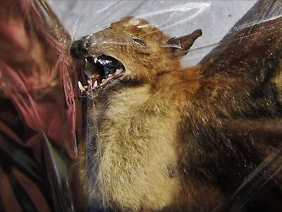 Lot of 5 Dagger-toothed Long-nosed Fruit Bat Macroglossus minimus Spread FAST US