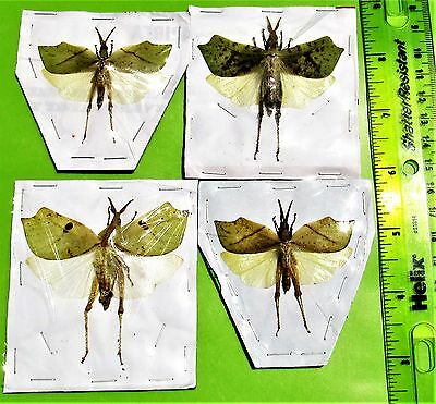 One Malaysian Leaf Mimic Grasshopper Orthoptera sp Spread FAST SHIP FROM USA