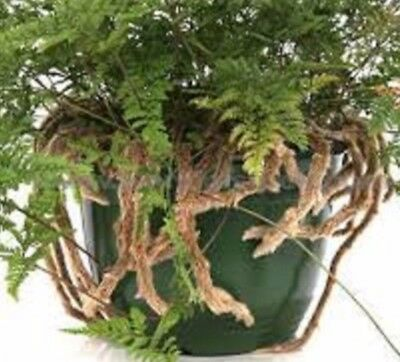 HARES FOOT FERN Davallia indoor plant in 130mm hanging pot