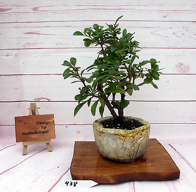 zierapfelbaum malus 39 outdoor bonsai 7 jahre 30 cm h he. Black Bedroom Furniture Sets. Home Design Ideas